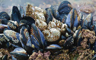 Съедобные моллюски — улитки и пресноводные мидии