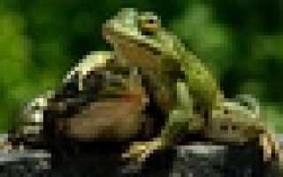 Экстремальные источники питания. Земноводные — лягушки и жабы