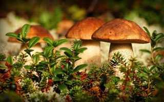 Съедобные грибы — Классификация, категории, особенности