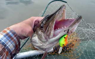 Рыбная ловля: Щука, её особенности, повадки, лов и приготовление