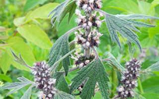 Лекарственные растения: Пустырник