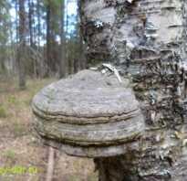 Пропитание в лесу: Трутовик настоящий