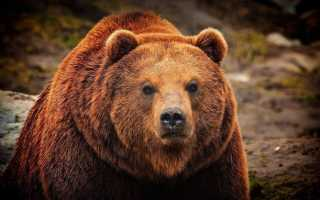 6 способов выжить при встрече с агрессивным медведем