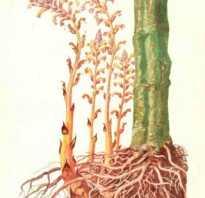 Лекарственные растения: Заразиха